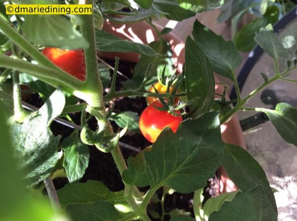tomato garden 3_1